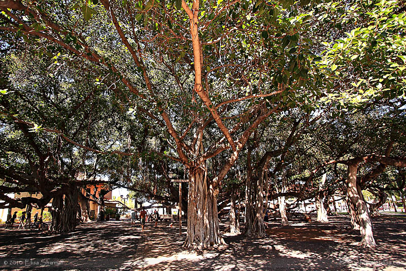Maui - Banyan tree at the park in Lahaina by Elisa Sherman | photosbyelisa.com