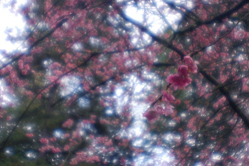 early cherry blossoms (diana)