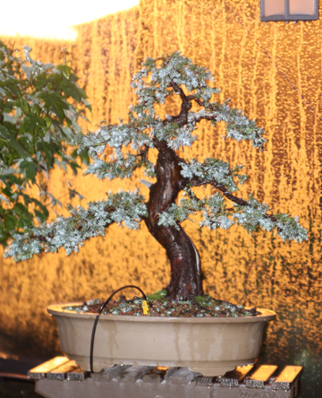Bonsai at sunset