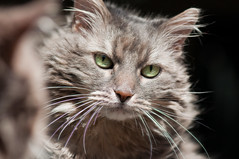 Angel in the mirror (Apogee Photography) Tags: cats animals angel cat feline kitty gatos gato mainecoon kitties mainecoone 105mm nikon105mmf28 d5000 nikond5000