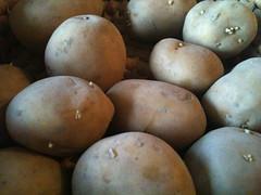 Aardappel poters kiemen al een beetje