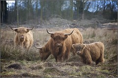 A Family Affair (Robert Geldard) Tags: norfolk bobcat highlandcattle fakenham sculthorpemoor bestofmywinners