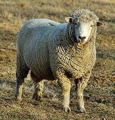 Boss of the Flock! (pfs896) Tags: sheep pentax farm indiana ram k200d