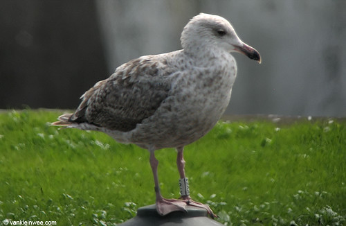 European Herring Gull W[KY61] (ssp. argentatus), 2cy