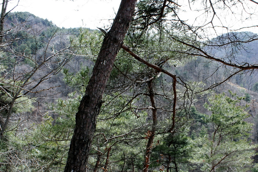 A pine-tree