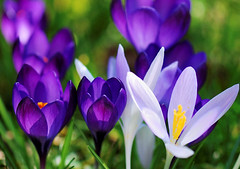 At Last (keithhull (offline this weekend)) Tags: blue plant macro spring colours crocus explore mygarden frontpage potofgold sooc explorewinnersoftheworld exploreflowers saariysqualitypictures seeninexplore1532010290