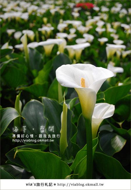 【2010竹子湖海芋季】陽明山竹子湖海芋季~海芋盛開囉!20