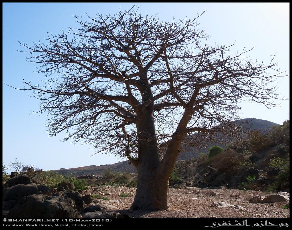الموضوع شجرة الباوباب العملاقة صور