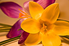 16 (vicki hall) Tags: plant flower macro yellow purple edited crocus