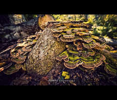 Trametes Versicolor (isayx3) Tags: tree mushroom colors outdoors nikon angle bokeh wide sigma fungi f28 d3 versicolor turkeytail trametes 14mm plainjoe isayx3