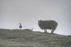 Texel & Larus (Sam, W) Tags: island sheep hdr highdynamicrange texel larus flatholm edr samw extendeddynamicrange samsamcardiff samsamwales ynysechni wwwflatholmislandcom