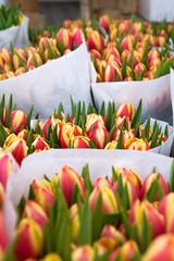 (ion-bogdan dumitrescu) Tags: flowers red yellow tulips many romania bucharest lots striped bitzi img3656 ibdp ibdpro wwwibdpro ionbogdandumitrescuphotography