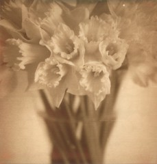 Daffodils in PX100 Silver Shade / First Flush (jakem) Tags: new flowers floral sepia polaroid historic daffodils buttery px100 firstflush polaroidsx70sonar 52saturdays silvershade theimpossibleproject 52sat