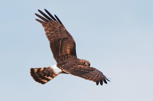 Harrier @ Assateague Island, Maryland