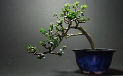 Kỹ thuật trồng và chăm sóc bonsai
