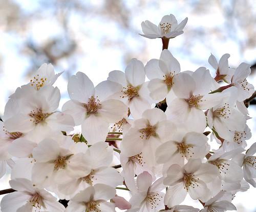 神田川 Cherry