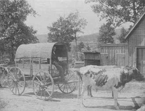 wagons in 1800s. Man in a wagon pulled by oxen