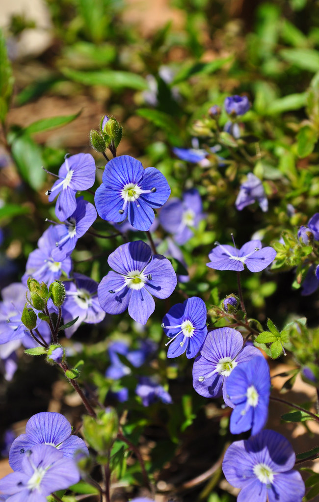 Veronica umbrosa 'Georgia Blue' 1