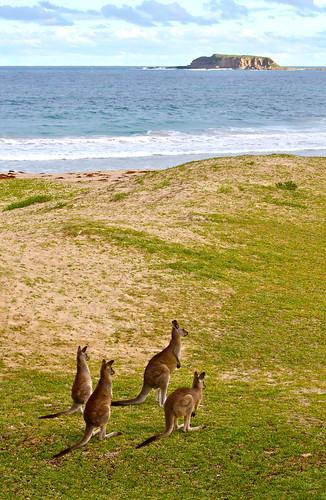 Pebbly Beach Kangaroos Australia - 100