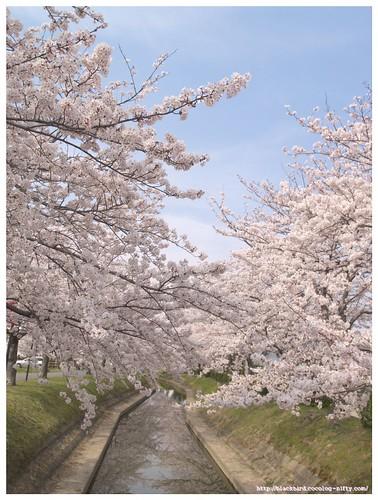 Sakura river 100406 #04