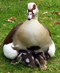 egyptian goose family (a.rud.beth) Tags: geese goose gänse egyptiangoose babygeese gänseküken nilgans schlossgartenschwetzingen schwetzingencastleandgardens frühling2010 springtime2010 nilgänseküken