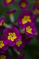 Pink Primrose (menickstephensorg) Tags: white flower colour tree yellow garden spring purple bud shrub canonef50mmf14usm canon70200mmf28lisusm canonef14xiiextender canonef12ii canoneos5dmk2