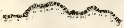 Cromossomo politênico 5 da D.nappae