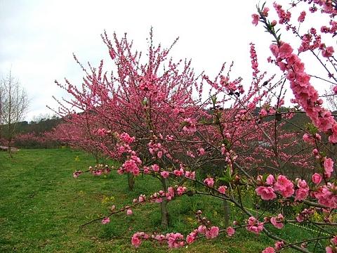 芝桜の名所 花夢の里 ロクタン10