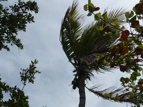 windy palm tree.