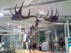 Irish Elk Skeleton (Mickaul) Tags: old uk trip england people irish reflection glass museum buildings reflections wednesday skeleton person big britain whats yorkshire united hill great leeds kingdom it antlers bones april to bone elk persons 14th museums left quarry 2010 on the skelington exhibt my of forteenth mickaul 14042010 cabienets