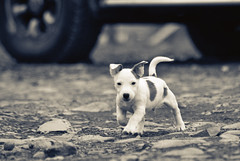 The Underdog (Dan Baillie) Tags: road dog cute car puppy nikon play path wheels rocky canine running run jackrussell 75300mm danbaillie bailliephotographycouk bailliephotography wigtownshirephotographer dumfriesandgallowayphotography