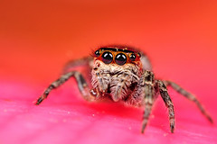 Jumping Spider (xbn83) Tags: macro bug insect 50mm spider nikon jumper et jumpingspider macrophotography 32mm naturesfinest d90 macroextreme r1c1 tokina100mmf28atxprod tokina100mmf28 macrolife