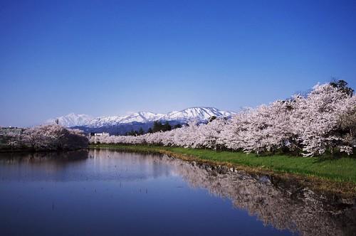 201004189051桜のお堀_R