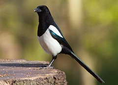 Magpie - More than you can ask for - Explored! (Ashley Cohen Photography) Tags: bird nature spring wildlife small magpie wirral unitedkingdomuk canonef300mmf4lis canoneos7d canon14xextendermk2