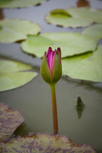 Blue Lotus Water Garden (08)