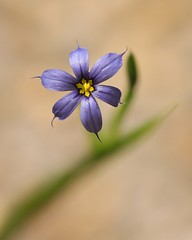 Blue-eyed grass (Vicki's Nature) Tags: blue grass yard canon georgia dof thumbsup wildflower sweep excellence blueeyed blueeyedgrass gamewinner abigfave faves40 artlegacy natureoutpost vickisnature beautifulworldchallenges thumbsupwinner 100commentgroup gamesweep bwcgwildflowers rebelt1i bwcgsingleflower canonef100mmf28lmacrois ef100mmf28lmacrois pregamewinner gamesweepwinner mothergrandmotherchallenge motherbigmommaaward mothersingleflower pinnaclebokehshallowdof gamepregamewinnerschallenge 15challengeslookingdown readypinnacle pregameblueflower pinnacle22912 tudof