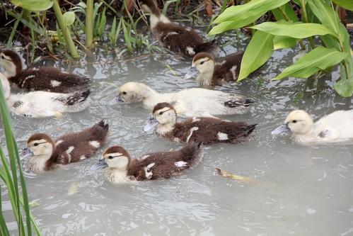 農夫直購 蕭大哥家養鴨子