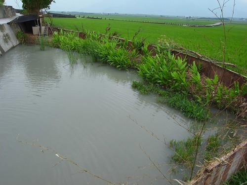 農夫直購的田邊 蕭大哥家養鴨子的水池