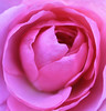 Macro Rose Pink