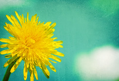 181/365...soak up the sun (-SR Photography-) Tags: sky clouds dandelion betharmsheimertexture