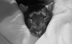 My sweet Anton    2007- 4.26.2010 (ganesha09) Tags: pet anton rattie dearfriend mysweetanton