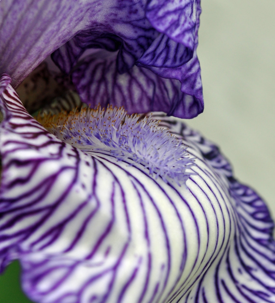Striped Iris by White Fence (2)