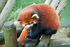 Red panda (DaveMosher) Tags: animals zoo redpanda
