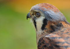 Kestrel Close Up DSC_7535