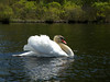 The male swan.