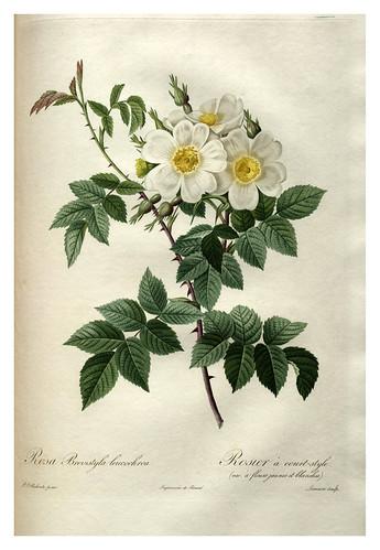 013-Les roses 1817-1824- Pierre-Joseph Redouté