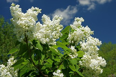 White Lilacs (+David+) Tags: lilac highlandpark whiteflowers whitelilacs stillsomebuds