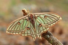 """Graellsia isabelae"" (carlespoveda) Tags: naturaleza macro verde nature animal forest bosque planet mariposa pino pinar oruga lepidoptero acicula graellsiaisabelae mariposaisabelina"