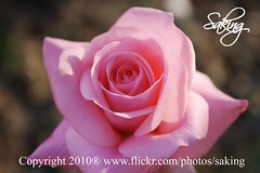 Pink (Saking--Little Busy) Tags: pink light rose kingdom stealth saqib saking concordians kingloi stunningwisdom