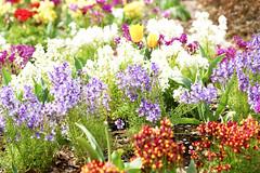 flowers (ddsnet) Tags: plant flower japan tokyo sony  to nippon   nihon hanami 900  backpackers  flower        tky    tkyto flower  japan japan 900    flowerinjapan to tky